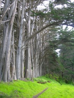 half moon bay cypress grove